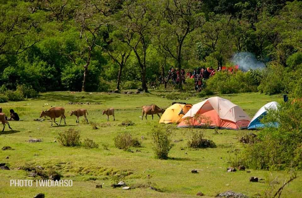 Waspadalah!! ketika rombongan sapi tiba-tiba berkunjung ke tenda anda