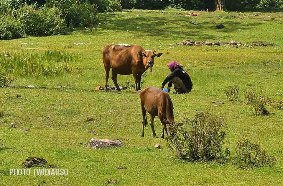 Sisa Makanan jangan dibuang!! berilah kepada sapi-sapi ini