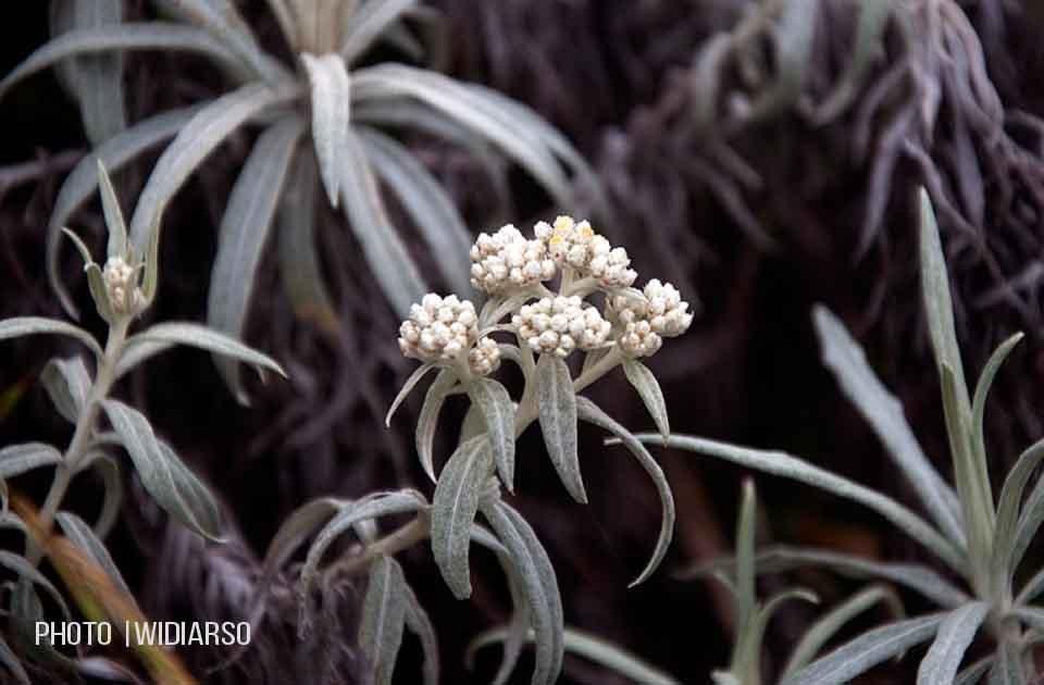 Edelweiss Gunung Bawakaraeng